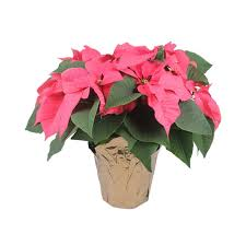 Order Poinsettias